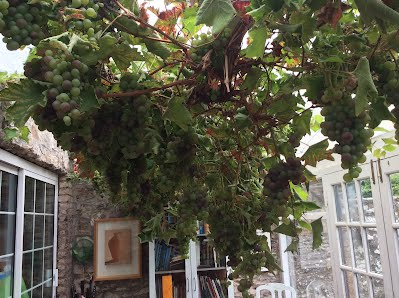 Crosshaven Gardens Templebreedy Gardens Grapes in Ireland